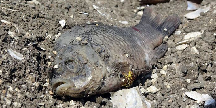 yurek yakan olay binlerce balik susuzluktan oldu 3 - Yürek yakan olay! Binlerce balık susuzluktan öldü!